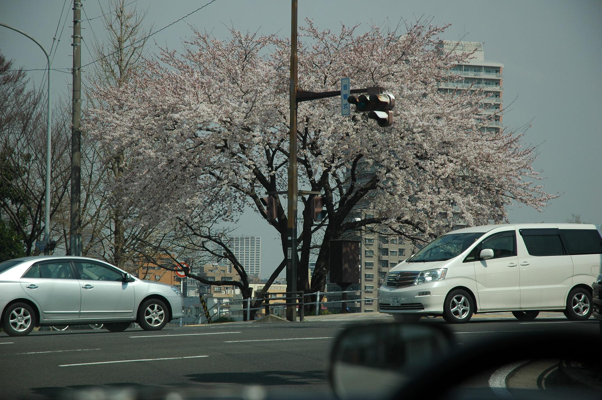 東日本大震災 仙台の桜