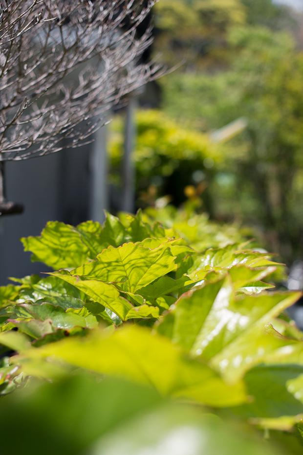 鎌倉 新緑の葉