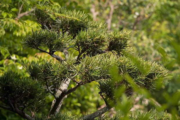 浄妙寺 日本庭園 松